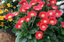 Florist Holland's Garvinea series gerberas have many smaller flowers and incredibly vibrant colors.