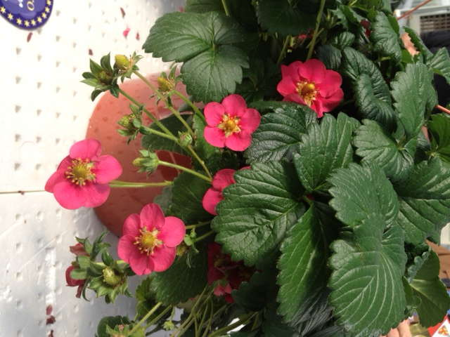 Fragaria xananassa 'Toscana' Is A Medal Of Excellence Nominee