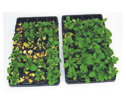 Pansies Treated with Pageant Intrinsic BASF (one use only)