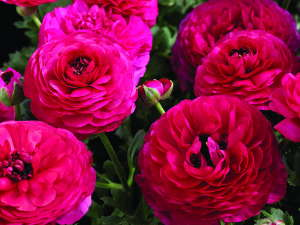 'Maché Rose' from Syngenta Flowers