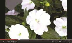 Wenke SunPatiens video