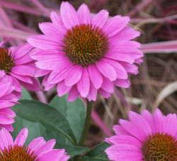 'Big Sky Gemini Pink' echinacea from ItSaul Plants and Saul Nurseries