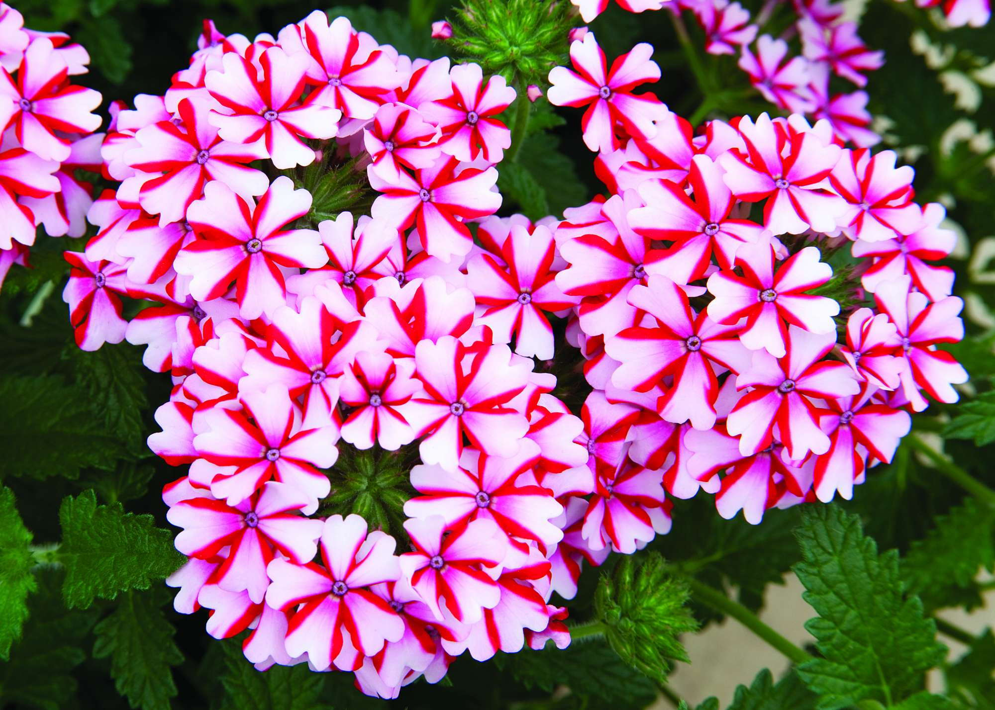 Verbena 'Lanai Candy Cane' Is A Medal Of Excellence Nominee
