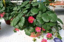 'Toscana' Strawberry