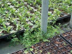 Weeds can attract and harbor pests and diseases in the greenhouse.