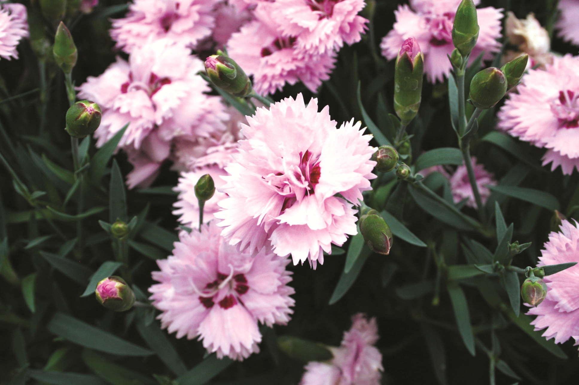 Perennials, Tropicals And More: 2012 California Spring Trials Introductions