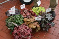 Heuchera Carnival series