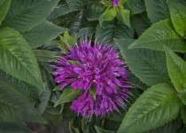 Monarda didyma 'Pardon My Purple' from Proven Winners