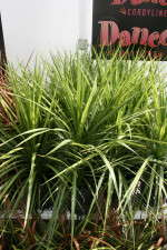 Cordyline Garden Dancer series from Cultivaris