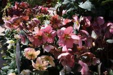 Helleborus xballardiae 'Pink Frost' from Skagit Gardens