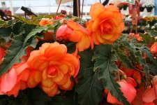 Begonia Arcada series from Ecke