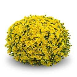 Chrysanthemum 'Staviski Yellow' from GroLink