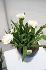 Short Pot Freesias: 'Sunburst,' 'Tootsie,' 'Gompey' from Flamingo Holland