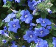 Evolvulus 'Blue My Mind' from Proven Winners