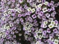 Lobularia 'Blushing Princess' from Proven Winners