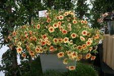 Calibrachoa 'Peach Cobbler' from Westhoff