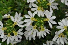 Scaevola 'Scampi White' and 'Scampi Blue' from Green Fuse