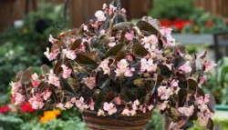 Begonia 'Ikon Bronze' from Floranova