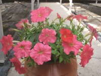 Petunia Picobella Cascade series from Syngenta Flowers