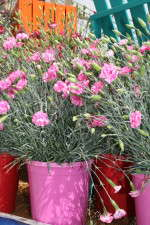Dianthus Cosmic series from Pacific Plug & Liner