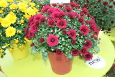 Chrysanthemum Mystic Mums Series from Fides Oro