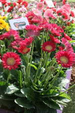 Gerbera 'Garvinea Sleeping Beauty' from Florist Holland