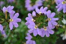 Scaevola 'Scampi Blue' From Green Fuse