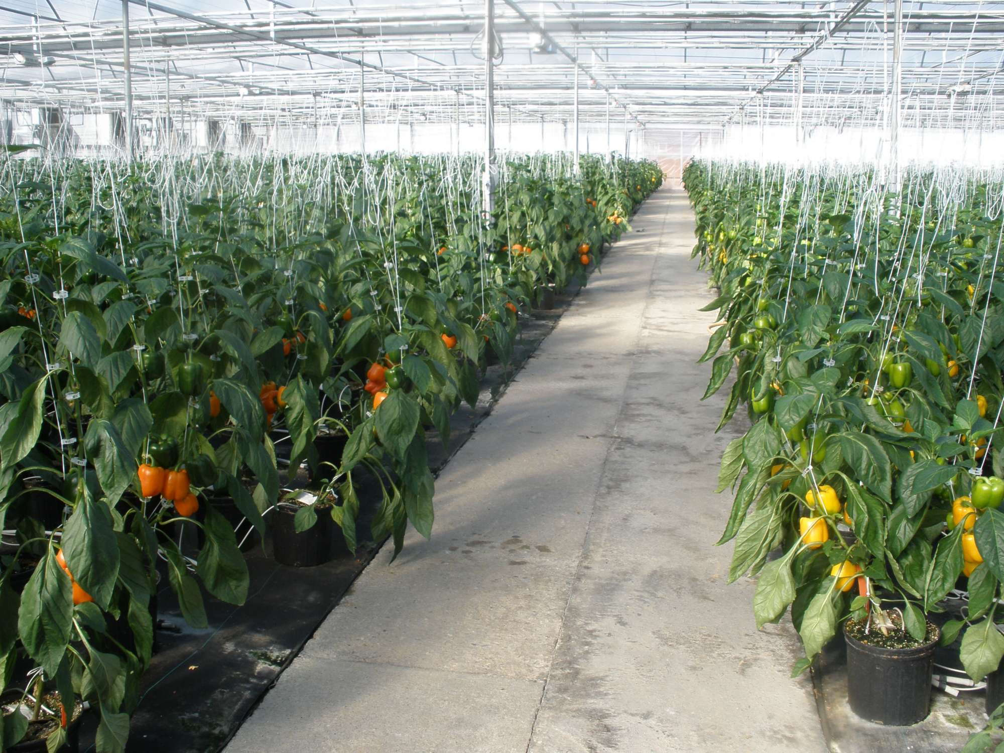Three Keys To Success In Greenhouse Vegetables