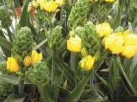Ornithogalum 'New Yellow'