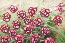 Dianthus 'Apple Slice' from Proven Winners