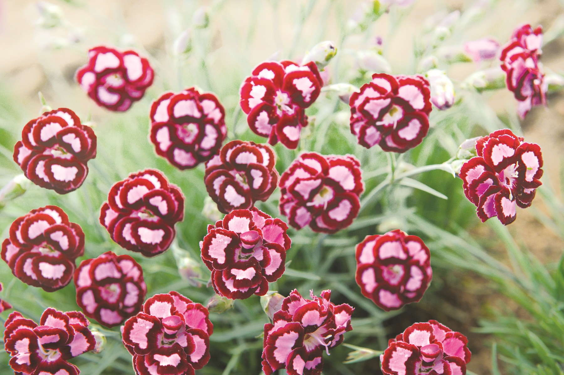 Fruit Punch Dianthus Kicks Up Proven Winners' Product Lines