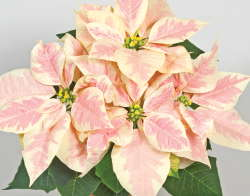 Tips For Poinsettia Production Greenhouse Grower