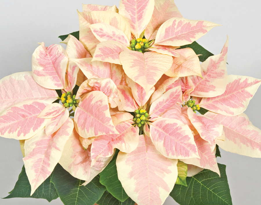 Tips For Poinsettia Production