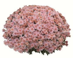 Chrysanthemum Mystic Mum Series from Fides Oro
