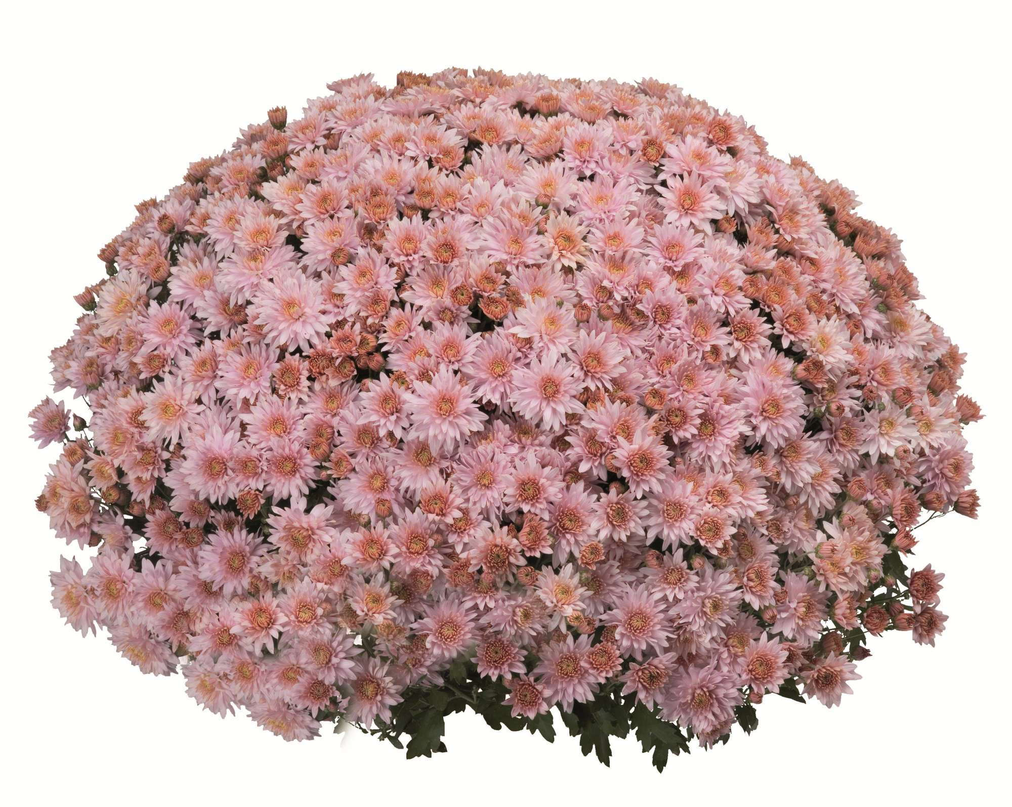 Chrysanthemum Mystic Mum Series: Medal Of Excellence Nominee