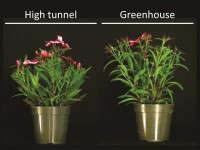 The Dianthus 'Super Parfait Raspberry' on the left was grown in a high tunnel. Its counterpart was greenhouse grown.
