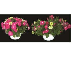 Petunia Flirtini hanging baskets show the growth in a high tunnel basket (left) and greenhouse (right).