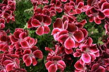 Pelargonium 'Elegance Burgundy Frost' from Ecke Ranch