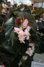 Begonia 'Ikon Bronze' from Floranova/Vegetalis
