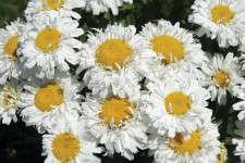 Leucanthemum ×superbum 'Freak!'