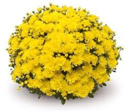 Chrysanthemum 'Amiko Yellow'