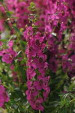 Angelonia 'Raspberry Improved'