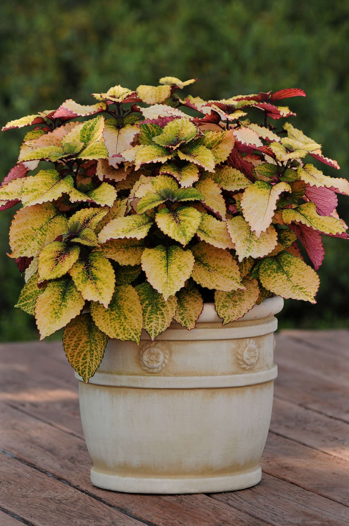 New Coleus Introductions For 2013