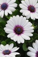 Osteospermum 'Akila White With Purple Eye'