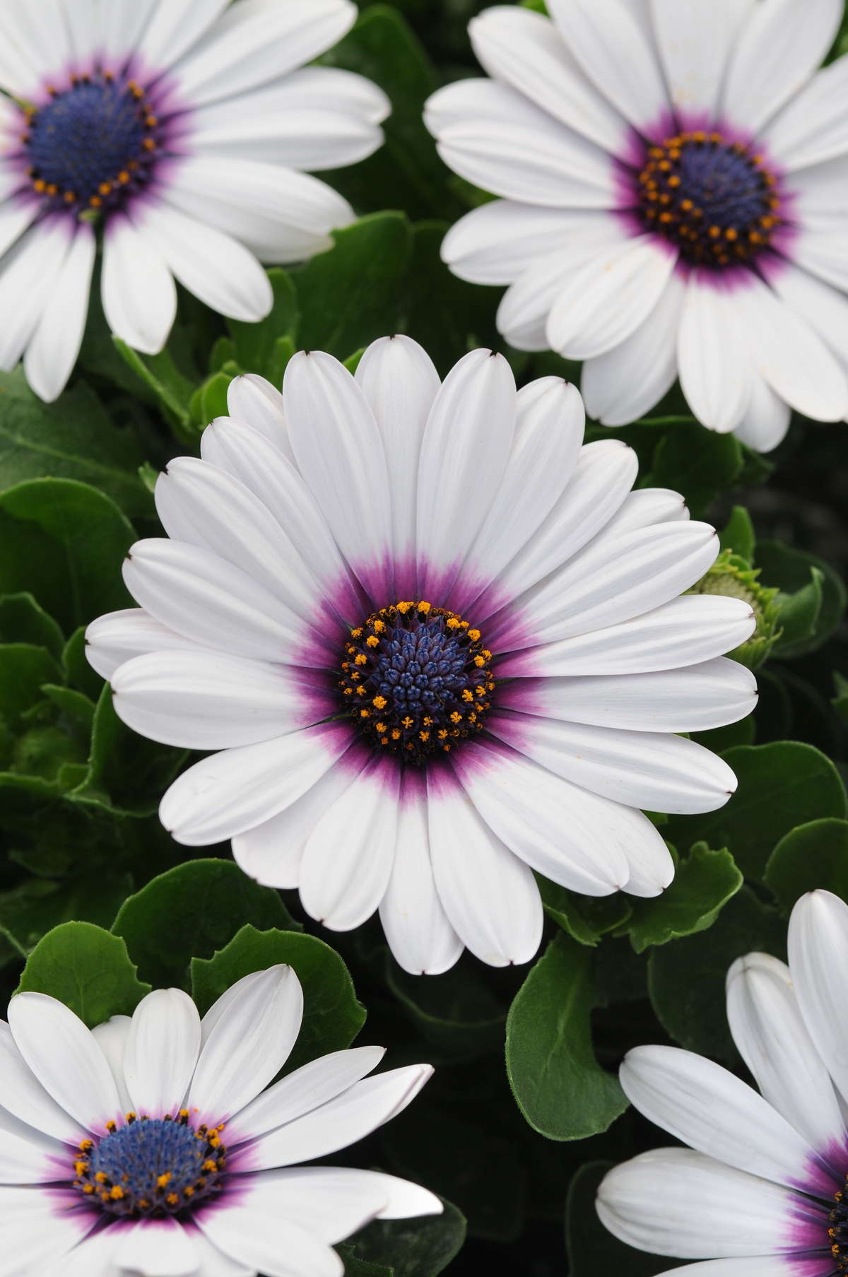 Focus On Fertility: Osteospermum