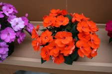 Impatiens 'Sun Harmony Deep Orange