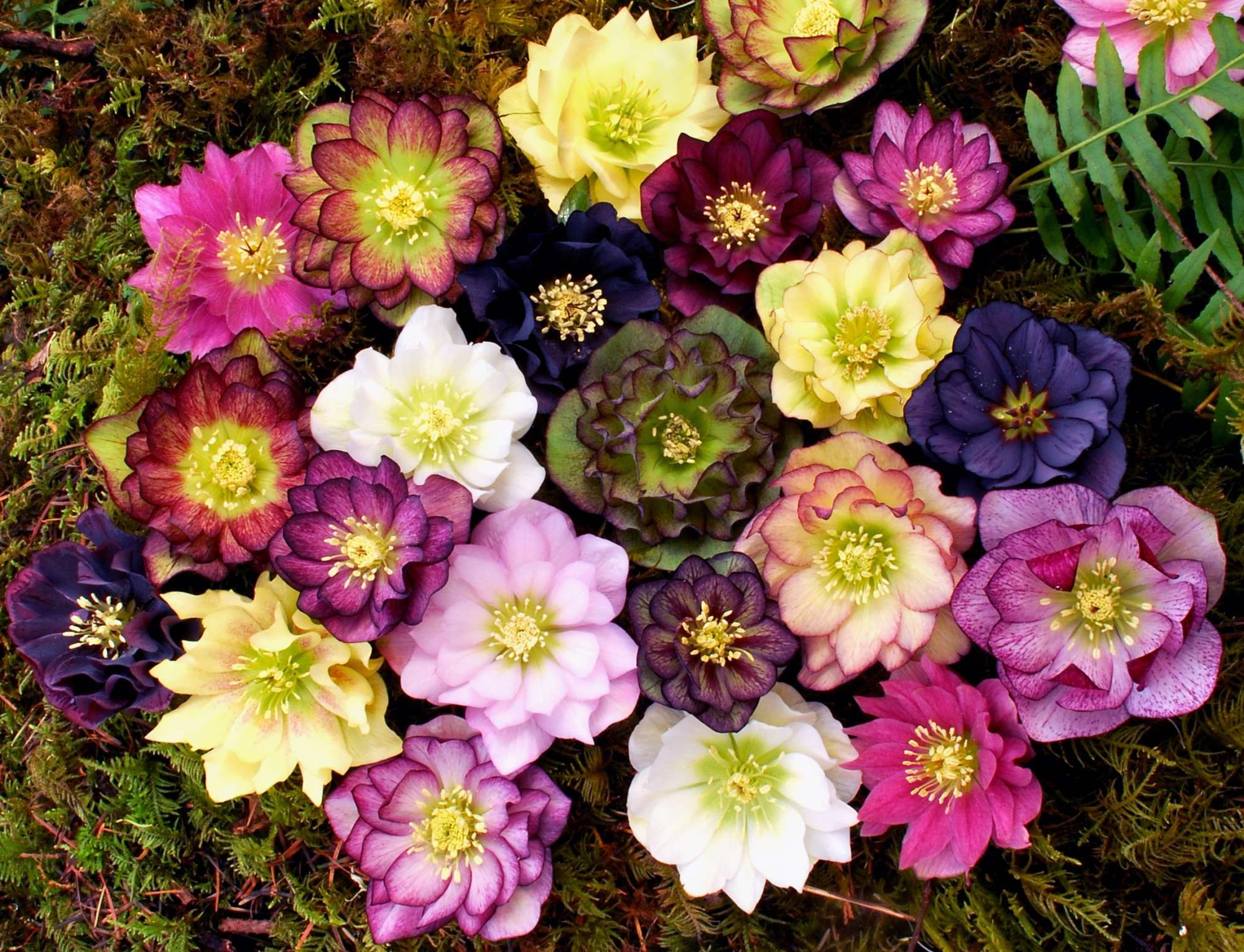 Growing Hellebores In The Greenhouse