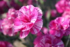Dianthus 'Cosmic Pink Swirl' from Pacific Plug and Liner