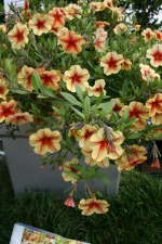 Calibrachoa Celebration Peach Cobbler from Westhoff