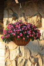 Impatiens 'Patchwork Cosmic Burgundy' from Ball FloraPlant